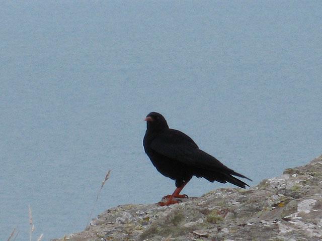 Chough at Dinas Head