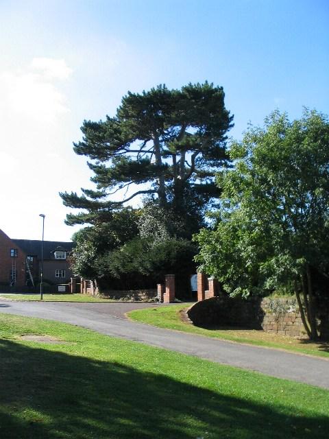 Scots pine, Allesley Hall