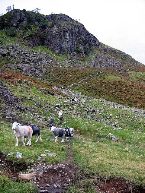 Sheep descending from behind Blea Crag