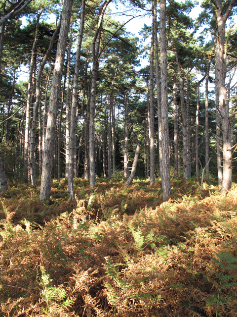 Pine trees and bracken in the Holkham Meals woodland