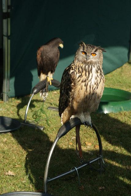 Siberian Eagle Owl at Loseley, Surrey