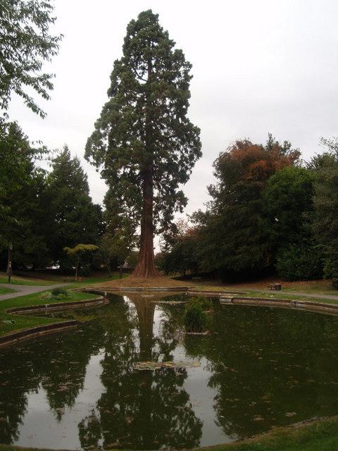 Giant Redwood in Tring Memorial Park