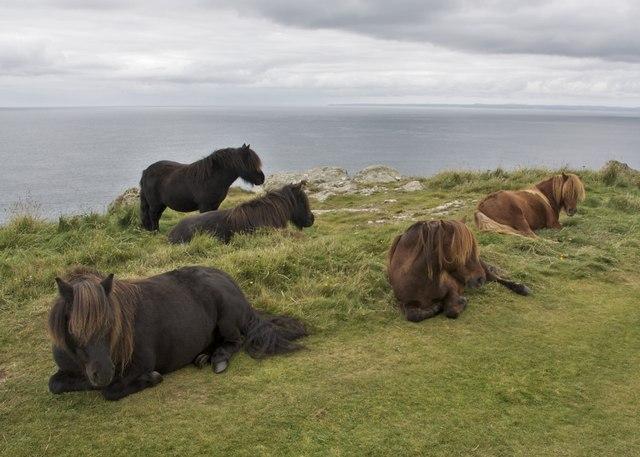 Shetland Pony Herd Predannack Head 169 Paul Buckingham