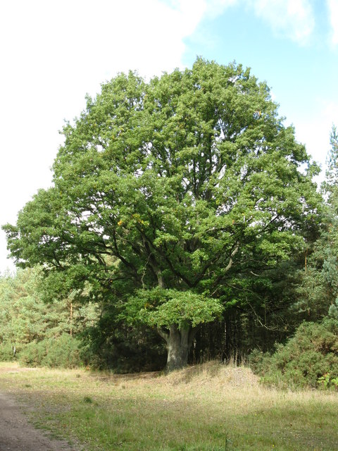 Oak tree on Olddean Common