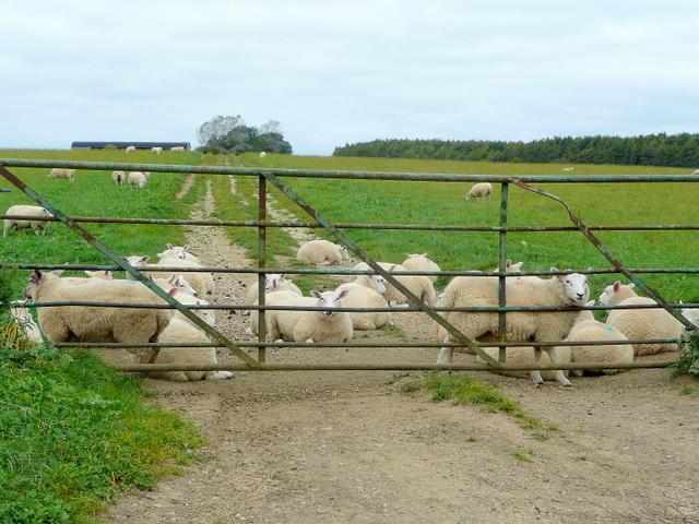 Sheep pasture near Eastington