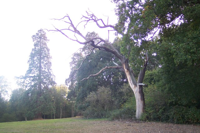 Tree in Rectory Park