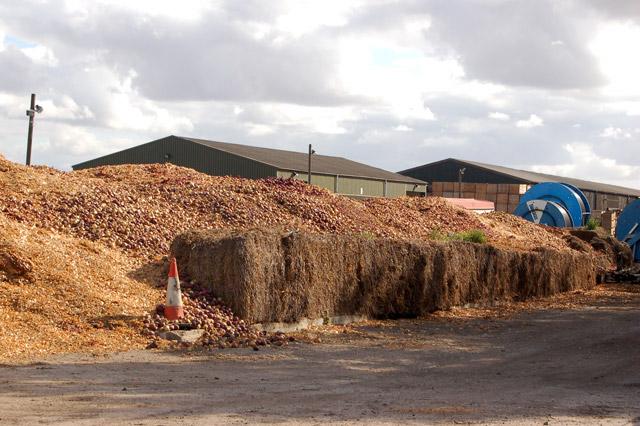 Onions composting at Engine Farm