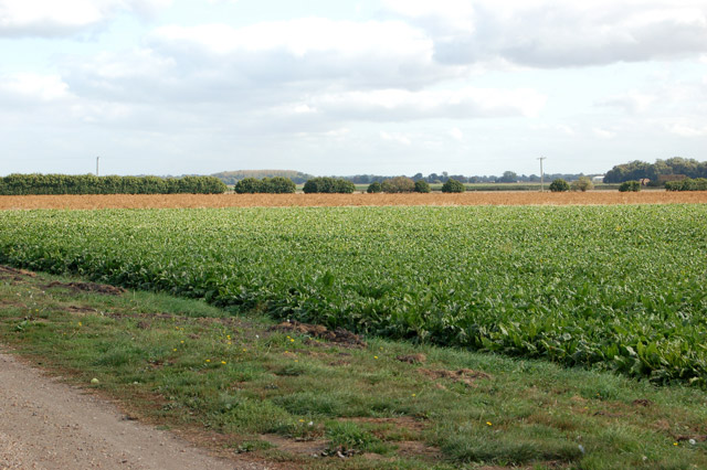 Sugar beet crop on Harris Farm