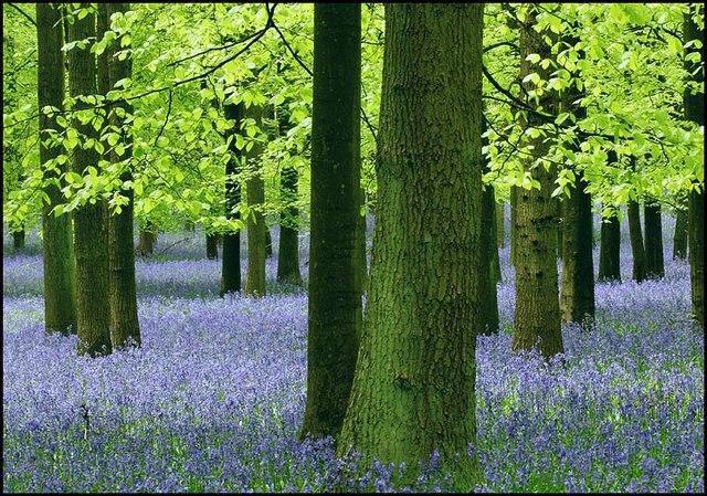 Trees and Bluebells, Dockey Wood, Ashridge