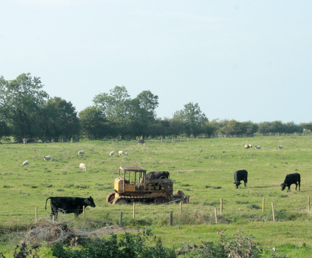2009 : A disappointed herd near Codrington