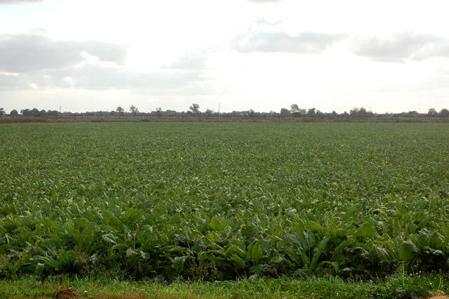 Sugar beet on Harris Farm (2)