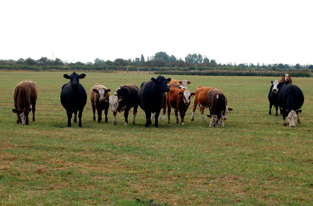 Cattle on Poplar Farm