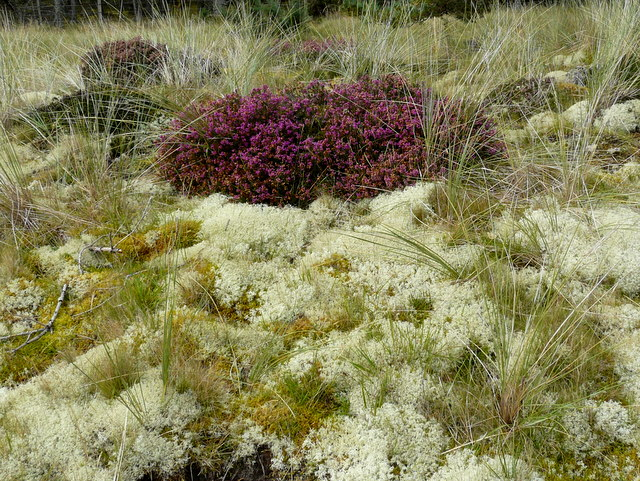 Heather and lichens near Littleferry.