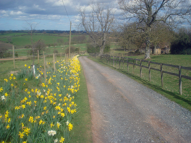 Daffodils at Little Hegdon - 2