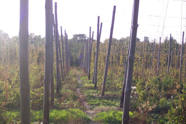 High Weald Landscape Trail through Hop Field