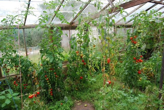 Tomatoes, Ynyslas Community Market Garden