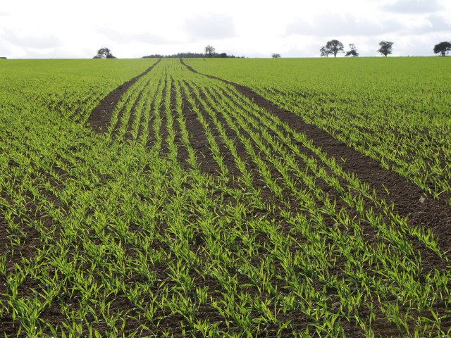 An Autumn sown crop