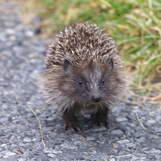 Hedgehog (Erinaceus europaeus), Norwick