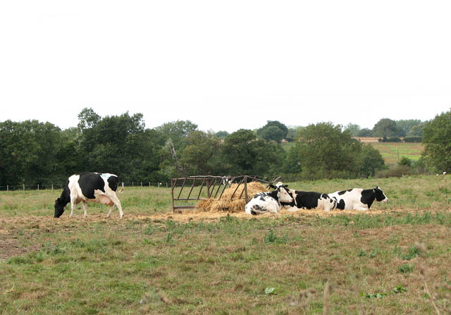 Cattle by Lower Farm