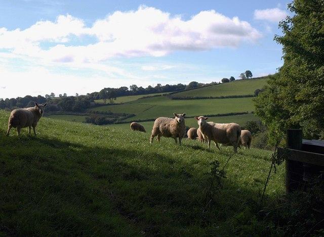 Sheep near Deepleigh