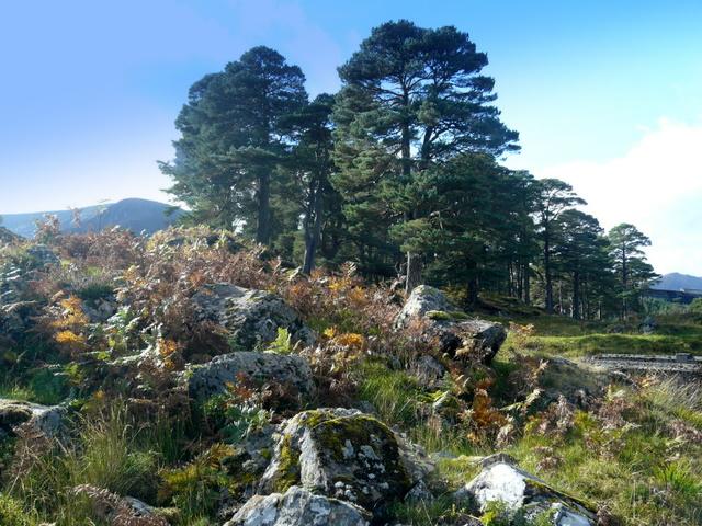 Caledonian pines near Mullardoch dam