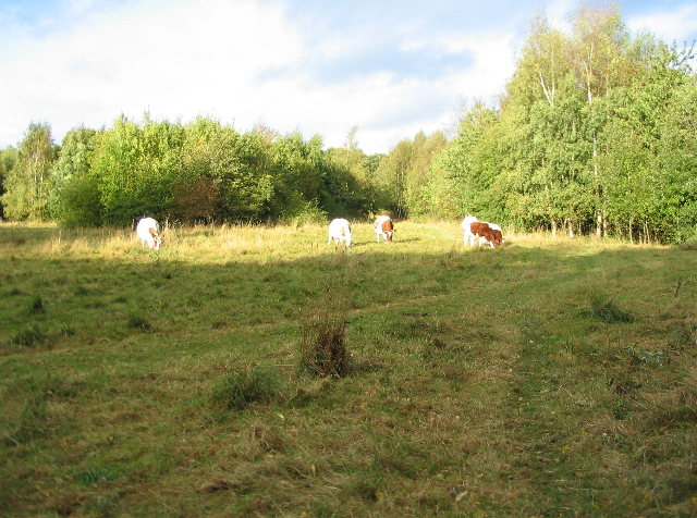 Cattle grazing, Canley Ford