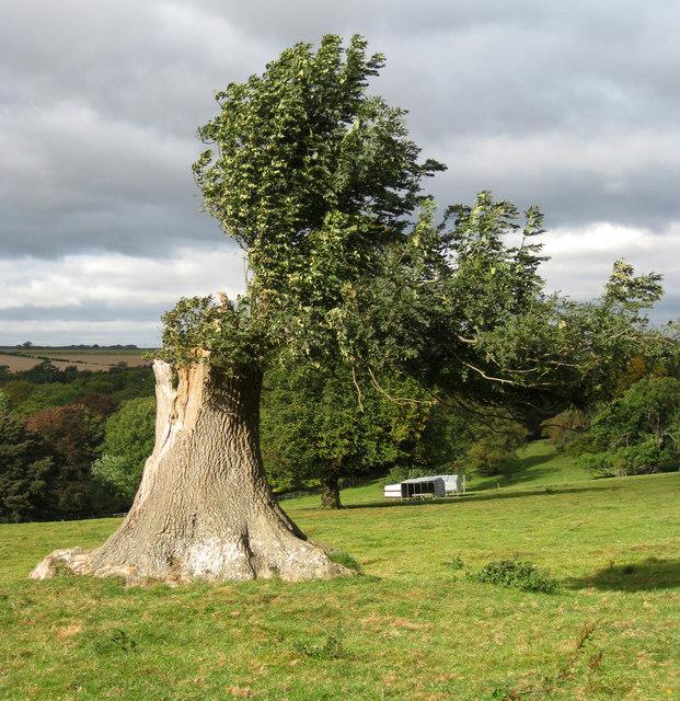 Regenerating  ash tree