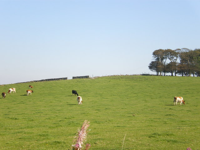 Cattle to the north of the Jug & Glass Inn