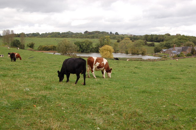 Cattle grazing on Noxon farm near Noxon Pond