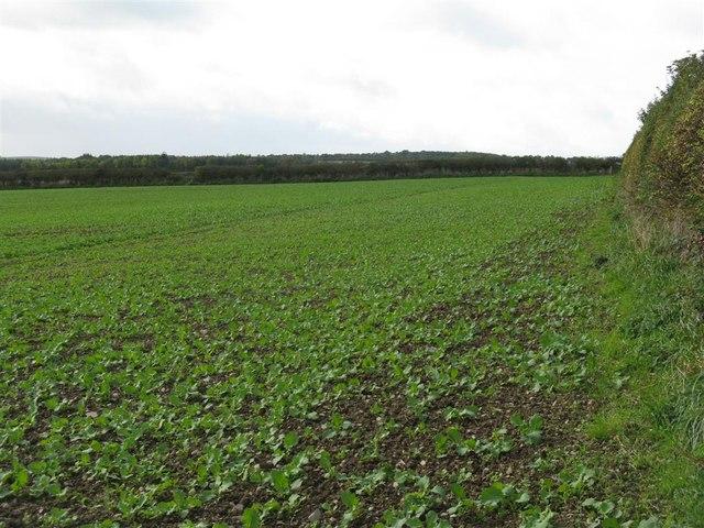 Rape field near Wellrig