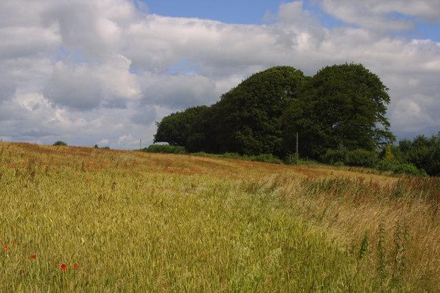 Beech (Fagus sylvatica) on Grove Farm