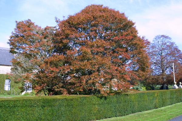 Yew Hedge at Redlynch