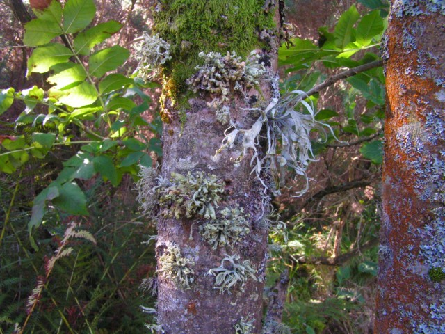 Lichens on burnside ash