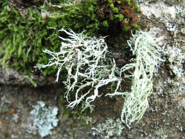 Lichen on burnside ash