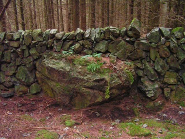 Old Drystane Dyke in Conifer Plantation