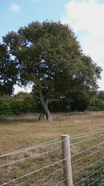 Kissing oaks by a footpath at Mengham