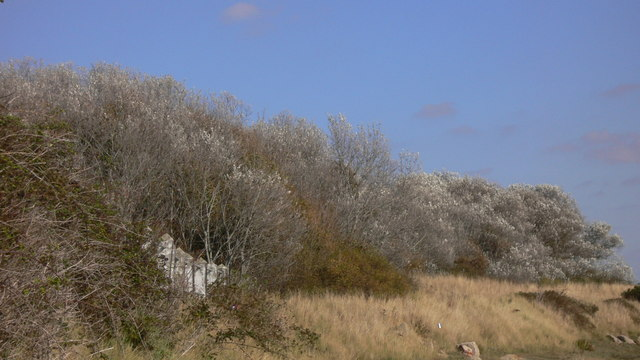 Silver trees above coast path