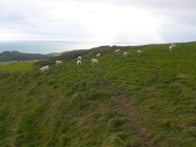 White Hill Sheep