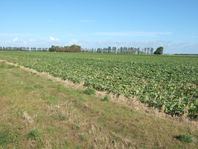 Across the sugar beet, North Lynn