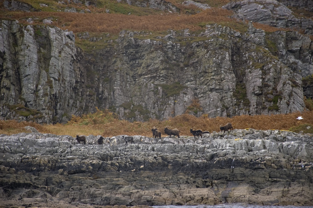 Goats on the shores of Jura