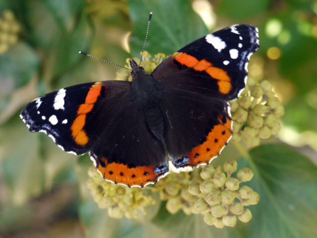 Red Admiral (Vanessa atalanta) on ivy