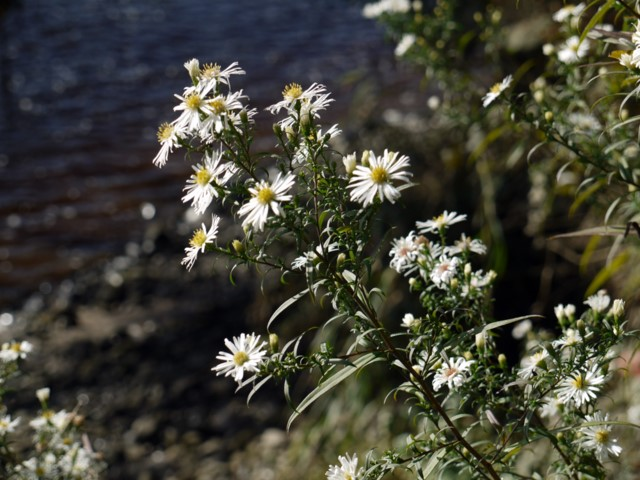 White-flowered Sea Aster (Aster tripolium), Tyne riverside
