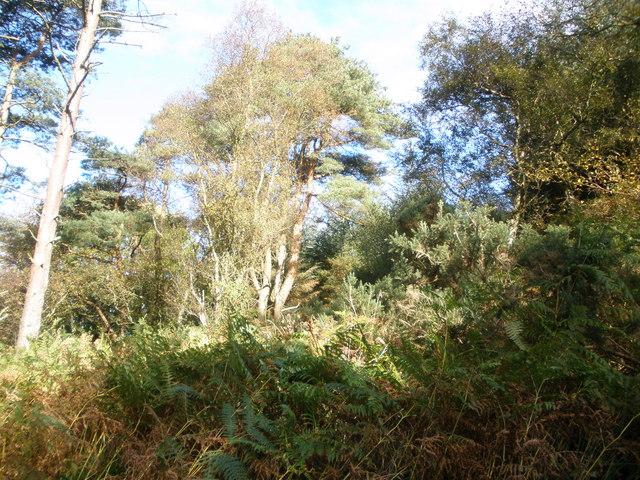 Barnauld Wood ,Bute