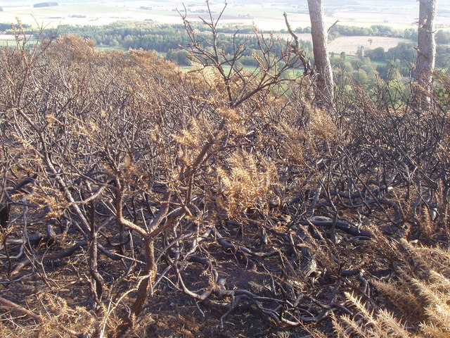 Burnt-out gorse
