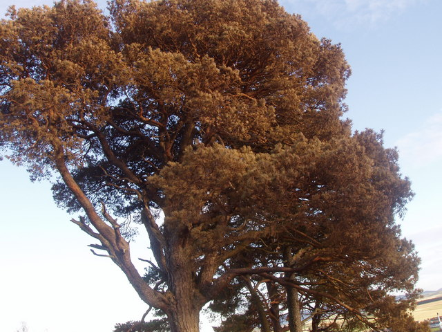 Severely charred Scots Pine