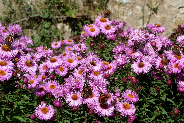 Aster flowers with butterflies at Hill of Tarvit Mansion House garden