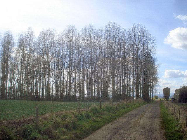 Grove of poplars near Great Marston