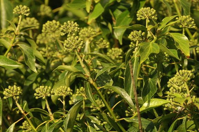 Ivy (Hedera helix) blossom, Norwick