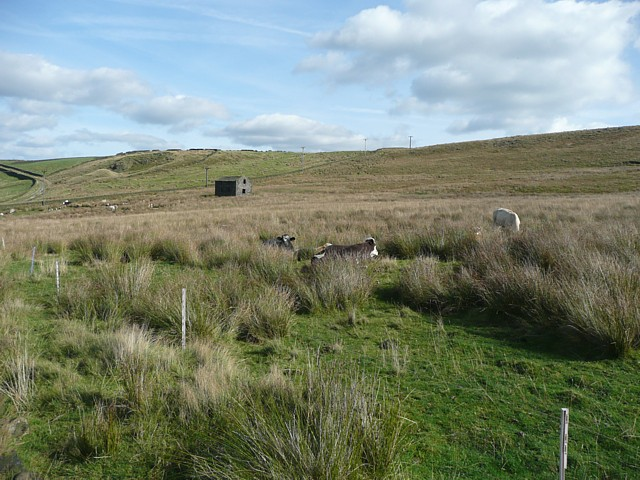 Cows amongst the rushes, Erringden