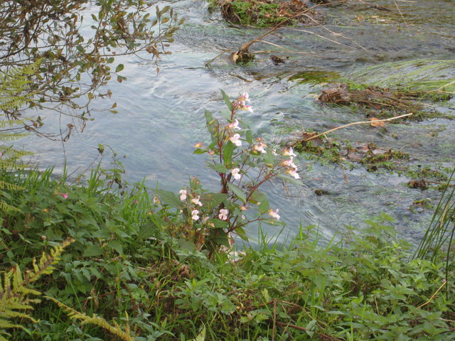 Himalayan Balsam (Impatiens glandulifera) growing beside the River Fowey